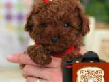 哪里有贵宾幼犬出售 贵宾多少钱 贵宾成年多大