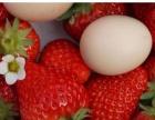 草莓采摘一日游
