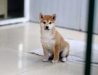 日系柴犬多少钱 海口赤色柴犬的价格是多少 黑色柴犬怎么卖