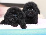 中國專業繁殖雙血統泰迪犬犬舍 可以上門挑選