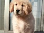 哈尔滨哪里有金毛犬出售 哈尔滨纯种金毛多少钱 哪里有金毛犬舍
