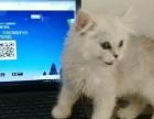转让一只金吉拉幼猫