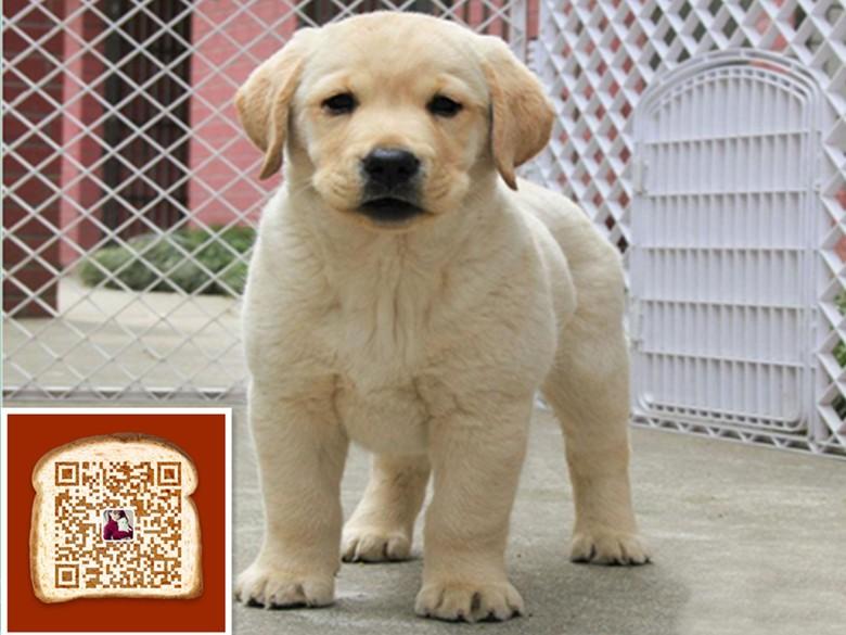 武汉出售纯种拉布拉多犬 质量三包 完美售后 包健康