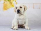上门700一只 拉布拉多犬 包健康 包纯种 有多条狗狗挑选