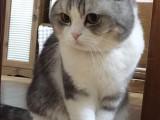 上海广州深圳北京加菲金吉拉豹蓝暹罗无毛猫哪里买 双飞猫