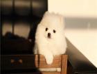 纯种哈多利版较小球体博美幼犬活体出售 宠物狗狗