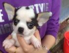 出售纯种吉娃娃犬送全套狗狗用品包健康签协议