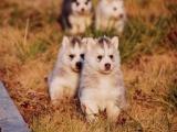 出售纯种哈士奇雪橇犬,三火,蓝眼.血统纯正.健康保证