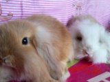 自己垂耳兔生的小兔兔