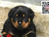 CKU质保三年纯种赛级专业繁殖罗威纳犬质保三年