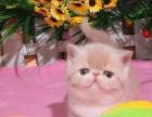 上海出售精品宠物加菲猫 包纯种健康送货上门