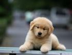 专业繁殖金毛犬 血统纯种 可实地挑选可送货到家