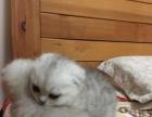 自家繁育纯种苏格兰折耳猫