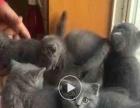自家养殖,做几个品种猫咪