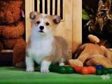 犬舍直销柯基幼犬 纯种健康能养活 支持视屏对接