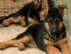 郑州哪有黑背犬卖 郑州黑背犬价格 郑州黑背犬多少钱