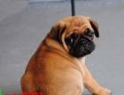 出售纯种鹰版巴哥犬、 公母均有、 大头褶子多头版漂亮