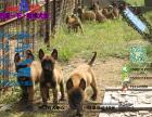 宠物店和狗市里的马犬可以买吗 健康的多少钱一只