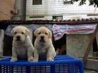 精品血统阿拉斯加幼犬 惠城城区哪里有卖精品阿拉斯加幼犬