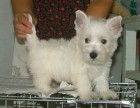 济南哪有西高地犬卖 济南西高地犬价格 济南西高地犬多少钱