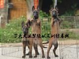 中国马犬基地,山东最大的马犬养殖场,纯种马犬多少钱一只