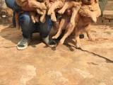 郑州赠送一窝聪明可爱的金毛犬找好心人领养