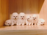 东莞 出售纯种博美犬 狗狗出售 可签协议质保健康