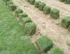 宁德福州绿化草皮培育基地