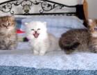 广州哪里有卖宠物猫的广州哪里有猫舍卖金吉拉广州出售金吉拉