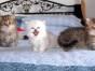 昆明哪里有金吉拉出售 昆明金吉拉价格 昆明宠物猫转让出售