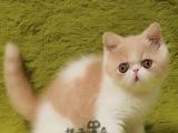 活体宠物纯种血统 红虎斑加菲 包子脸 加菲猫
