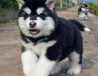广州阿拉斯加犬一只多少钱 疫苗驱虫做好