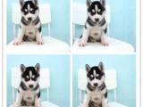 宠物狗 完美品相 签协议纯种健康 极品拉布拉多犬