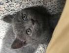 英短蓝猫,美短猫等