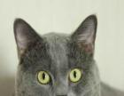 【贝拉宠物】精品金吉拉暹罗猫加菲猫蓝猫美短配种