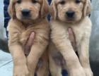 出售两个月左右的大头金毛幼犬