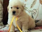 纯种赛级大骨架大头宽嘴金毛幼犬 送套装狗狗用品
