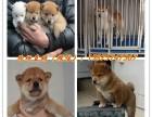 梅州什么地方有狗场哪里有卖宠物狗/梅州哪里有卖柴犬
