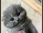 超呆萌的高地折耳蓝猫小dd--思晴名猫坊