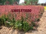 30红叶小檗价格 30高红叶小波价格