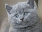 家养纯种英短蓝猫幼猫 可上门选猫可送货上门