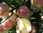 丰县大沙河苹果上市 现摘先发 欢迎采购