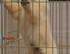 本地犬舍出售高品質 大骨架金毛幼犬 保證純種健康 賽級有證書