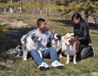娇子犬业注册CKU十年单一繁育边境牧羊犬赛级宠物