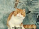 【加菲猫】猫舍头圆腮大可爱加菲猫猫找主银大眼睛圆