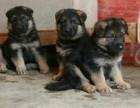 哪里有出售高加索犬的纯种包健康包成活