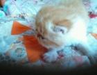 自家可爱加菲猫转让