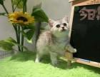 标斑美短/美国短毛猫/美短幼猫/美短质保出售