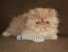 儋州哪里买加菲猫比较好 儋州加菲猫多少钱一只