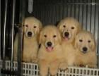 枫叶系**大头金毛幼犬 疫苗齐全 当时化验签署协议